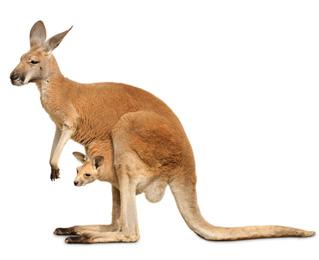 Los kanguros, ¿de dónde procede su nombre?