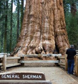 Secuoya General Sherman