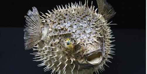 "Curioso y peligroso ""pez globo"""