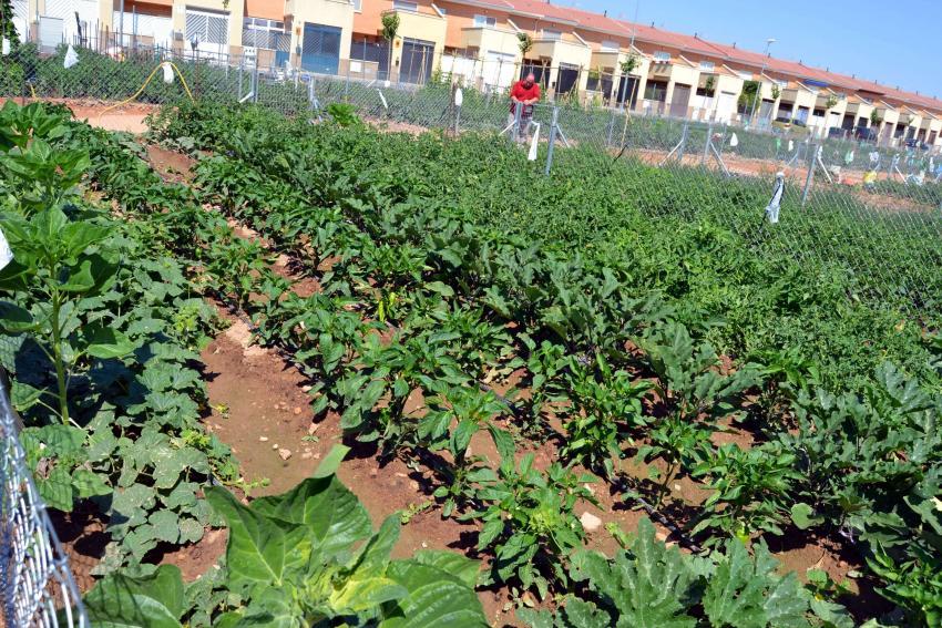 Los cerca de 50 carrioneros que cultivan los huertos urbanos comienzan a recoger su rica cosecha