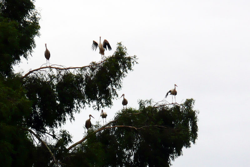 Suelta de cigüeñas en Peralvillo