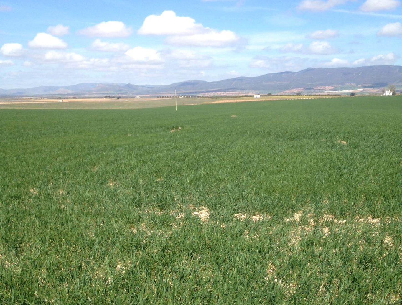 La campaña del cereal se complica por la escasez de lluvias en Daimiel