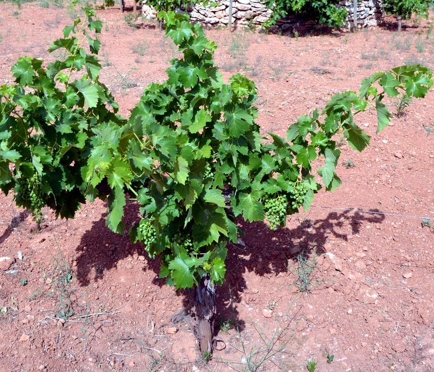 El pionero Laboratorio agroalimentario LIEC de Manzanares, imparte tres jornadas sobre el uso eficiente del agua para una viticultura sostenible, del 6 al 8 de julio