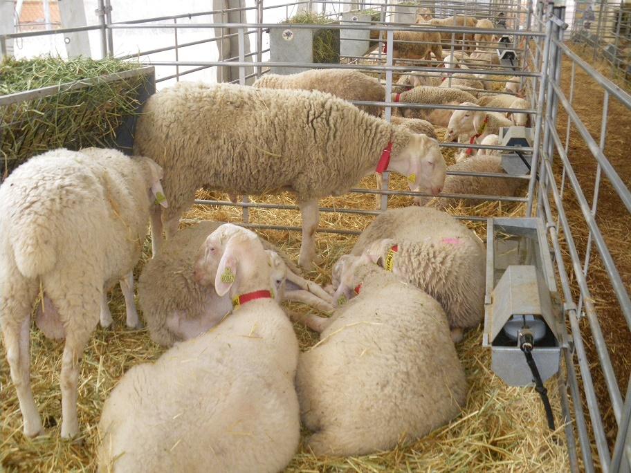 La subasta de sementales de raza ovina manchega repite éxito en FERCAM