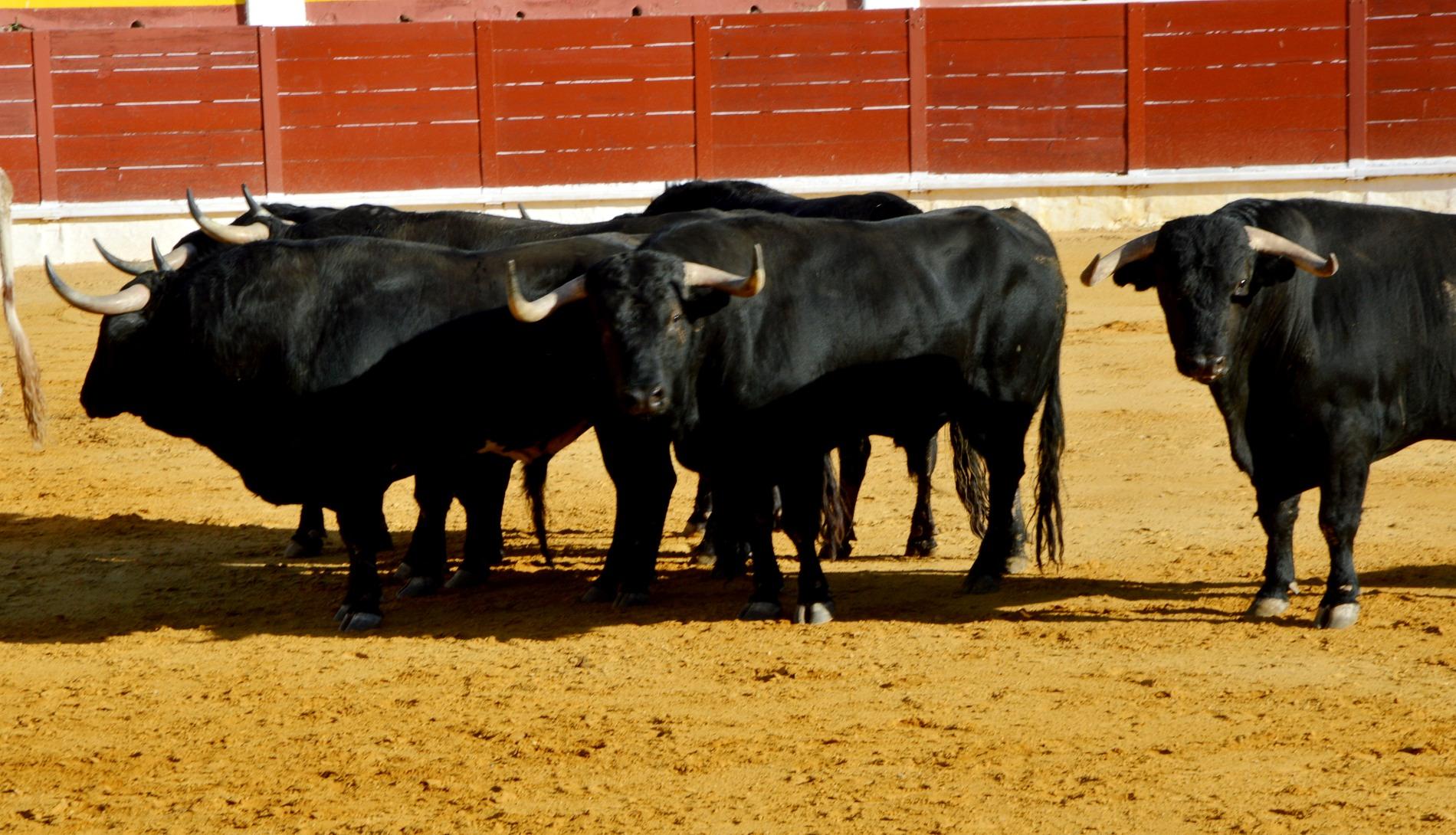 Desencajonamiento toros en Daimiel