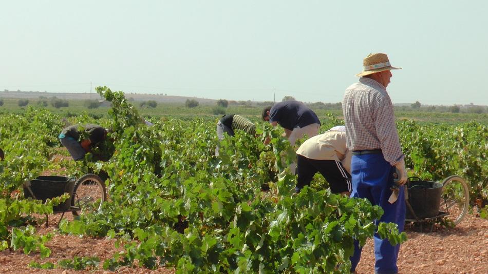 La vendimia de tinto se generaliza en La Mancha