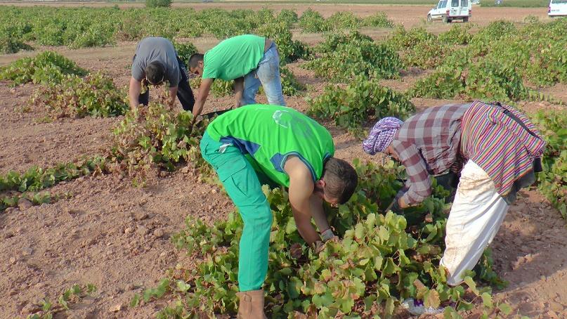 La recogida de la blanca airén generaliza la vendimia en La Mancha