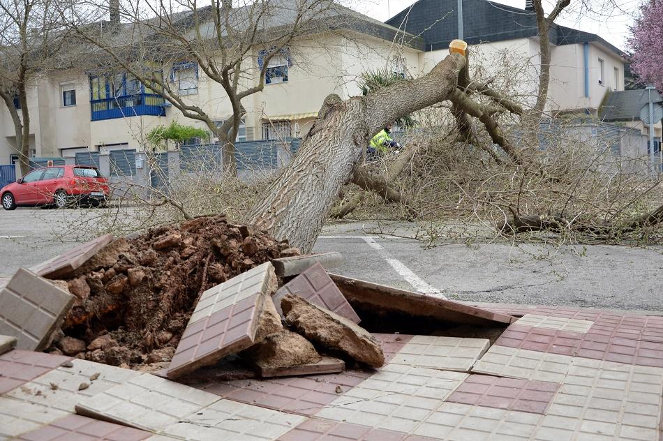 El viento arranca una morera de grandes dimensiones a la entrada del Estadio Municipal de Daimiel
