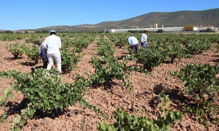 La vendimia se generaliza para las variedades tempranas en La Mancha