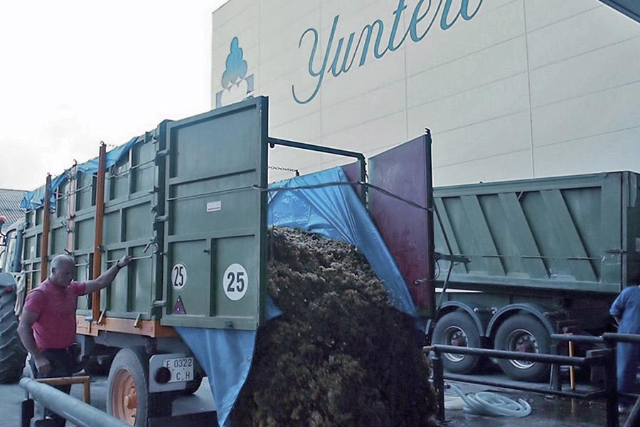 Tras un mes de vendimia Bodegas Yuntero recoge 60 millones de kilos de uva y espera alcanzar un total de cien millones