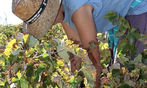 La cosecha de uva podría ser inferior al cuarenta por ciento