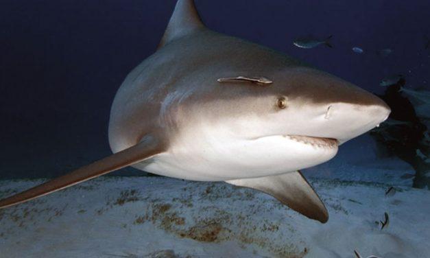 Algunas curiosidades sobre los tiburones