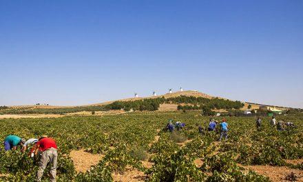 La recolección de la uva blanca Airén señala el punto y final a la campaña en la Denominación de Origen La Mancha