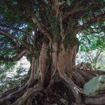 ¿El árbol más viejo de España?