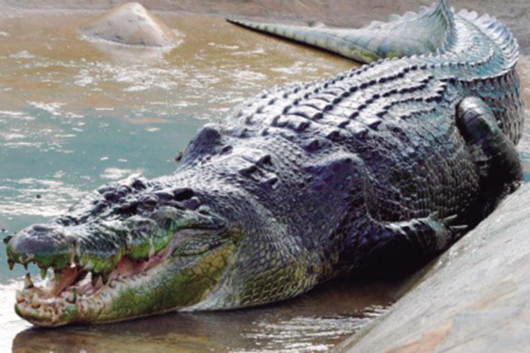 Lolong, el cocodrilo más grande del mundo
