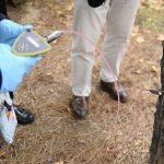 Más de 200 pinos han recibido ya tratamiento por endoterapia contra la oruga procesionaria