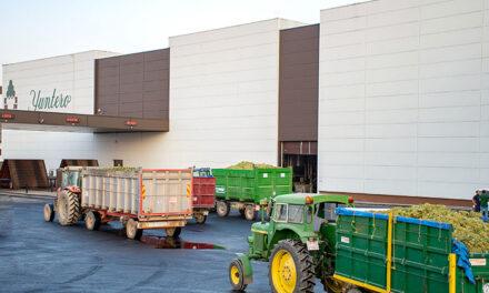 Bodegas Yuntero, concluye la vendimia con una produccion record de 153 millones de kilos de uva