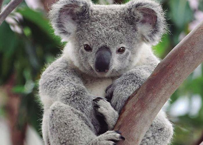 Koalas, 20 horas de sueño y 4 comiendo